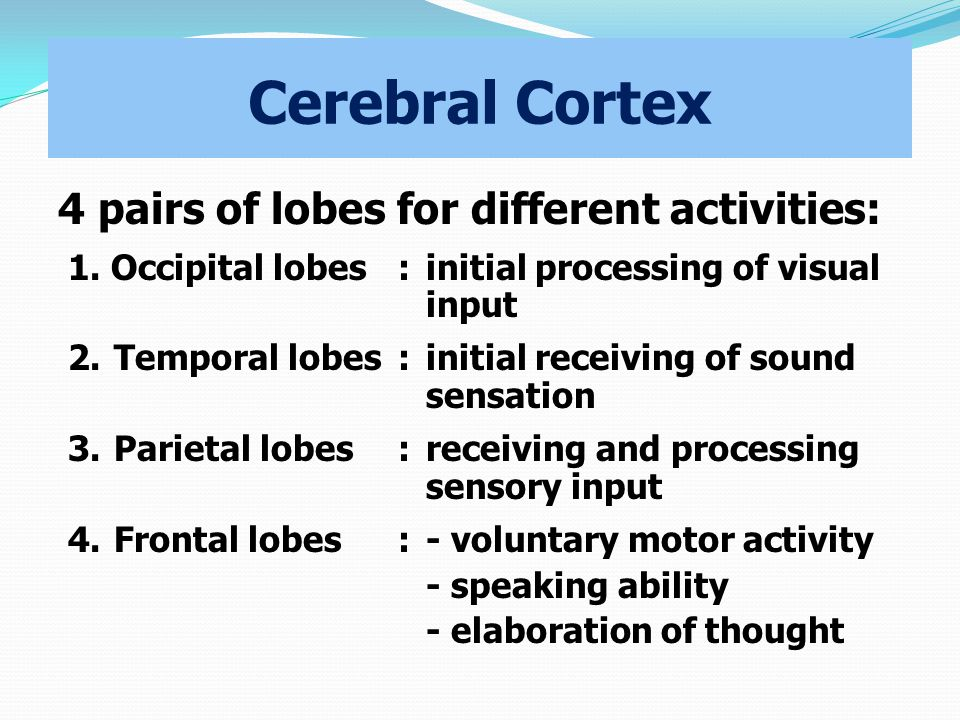 Cerebral Cortex 4 pairs of lobes for different activities: