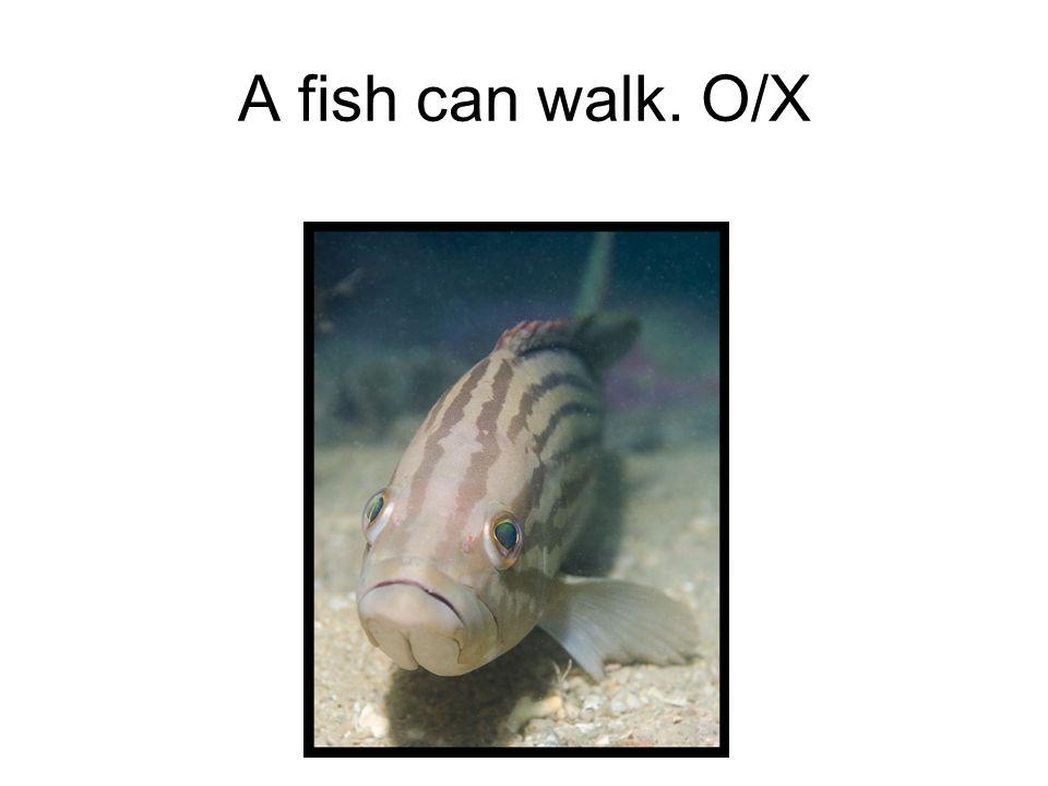 A fish can walk. O/X