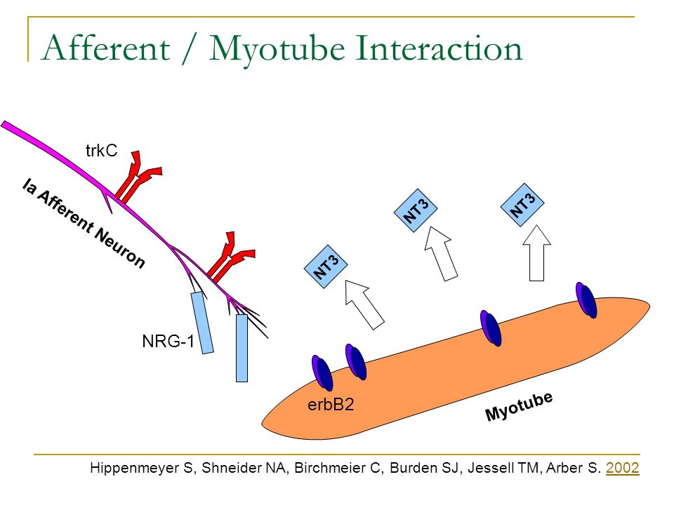 Afferent / Myotube Interaction