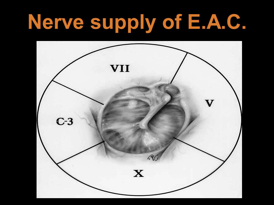 Nerve supply of E.A.C.