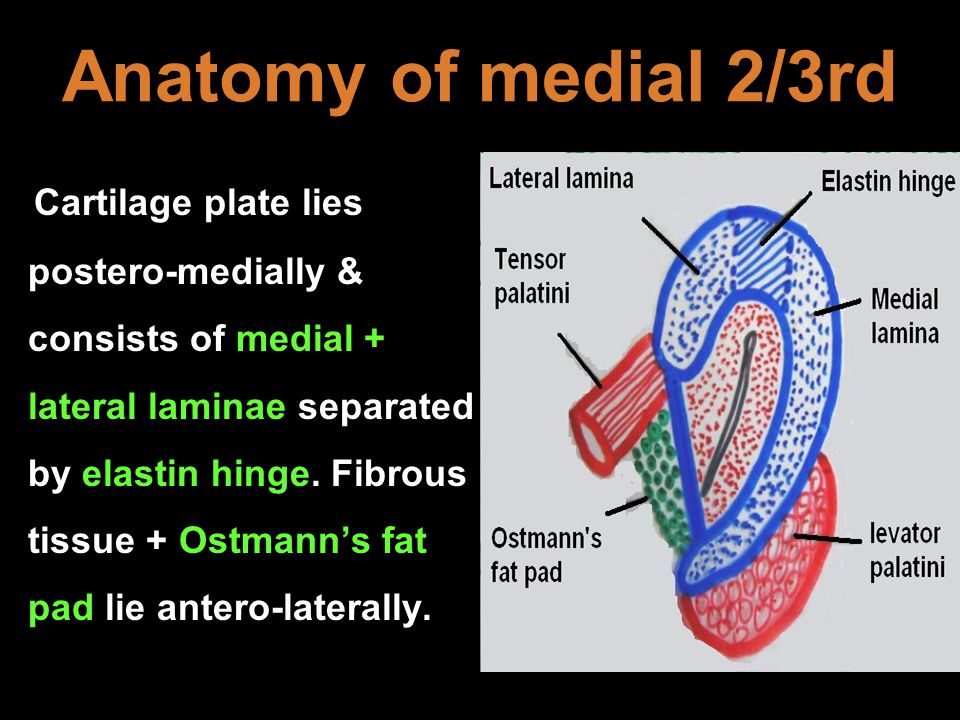 Anatomy of medial 2/3rd