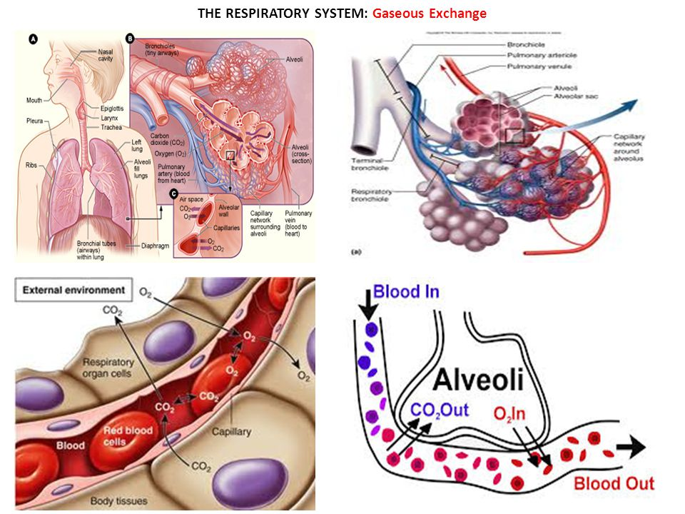 THE RESPIRATORY SYSTEM: Gaseous Exchange