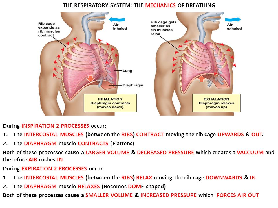 THE RESPIRATORY SYSTEM: THE MECHANICS OF BREATHING