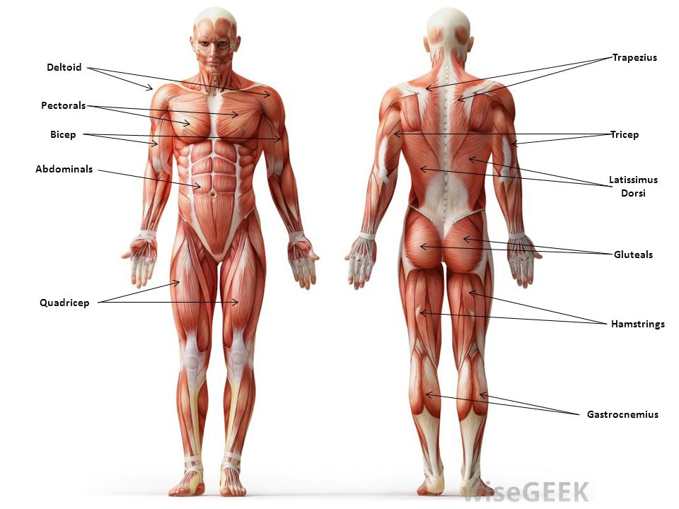 THE MUSCULAR SYSTEM Trapezius Deltoid Pectorals Bicep Tricep