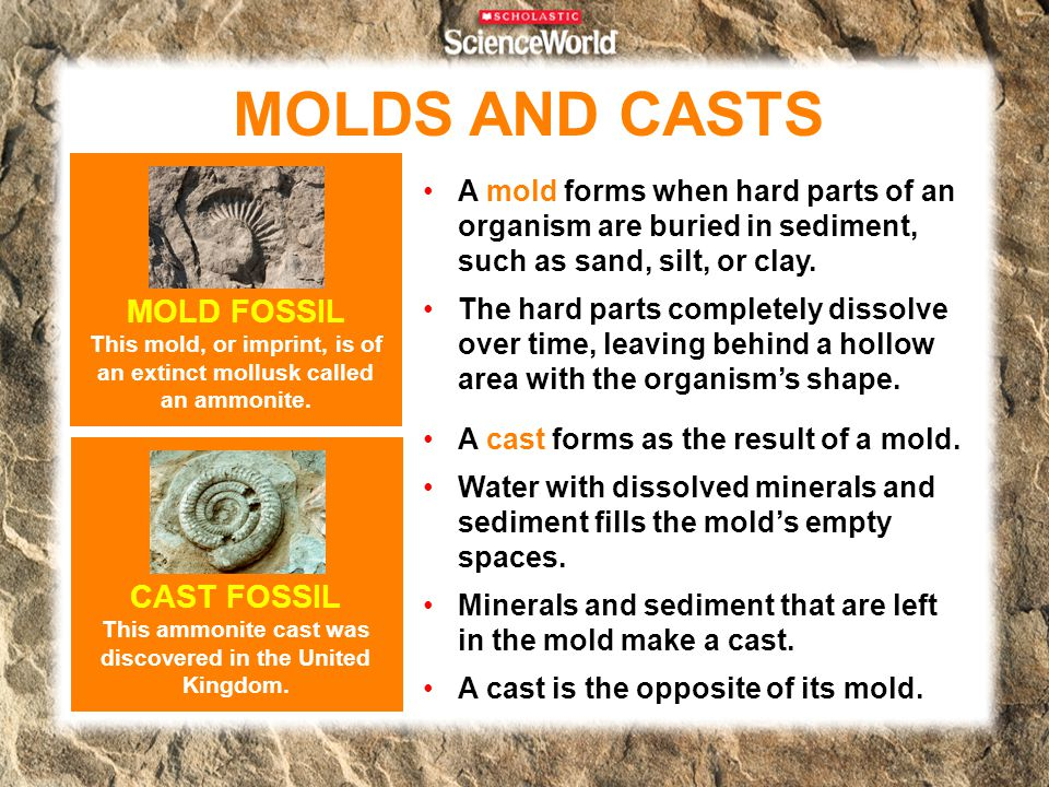 MOLDS AND CASTS MOLD FOSSIL