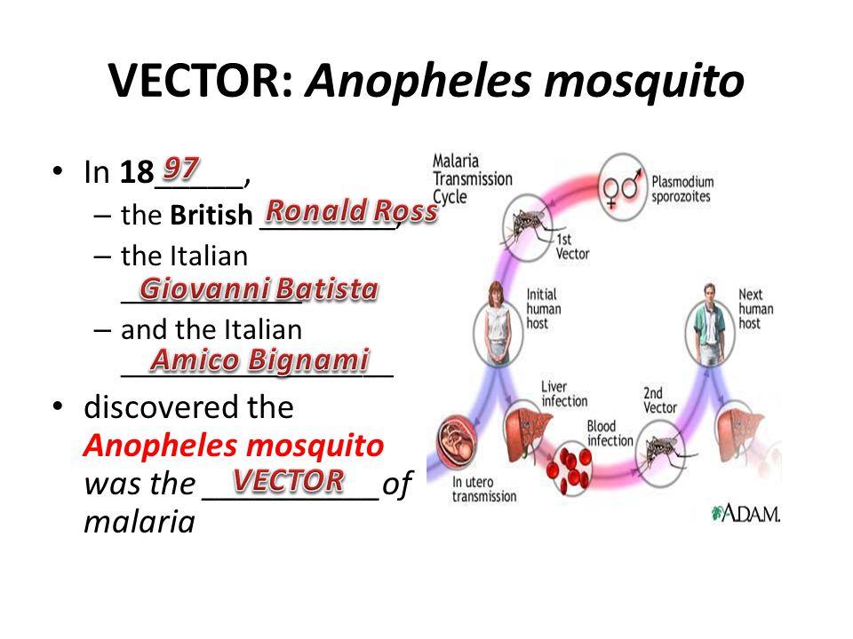 VECTOR: Anopheles mosquito
