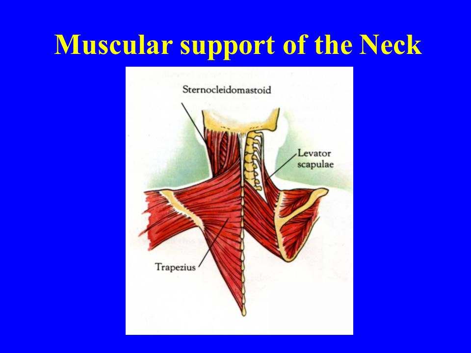 Muscular support of the Neck