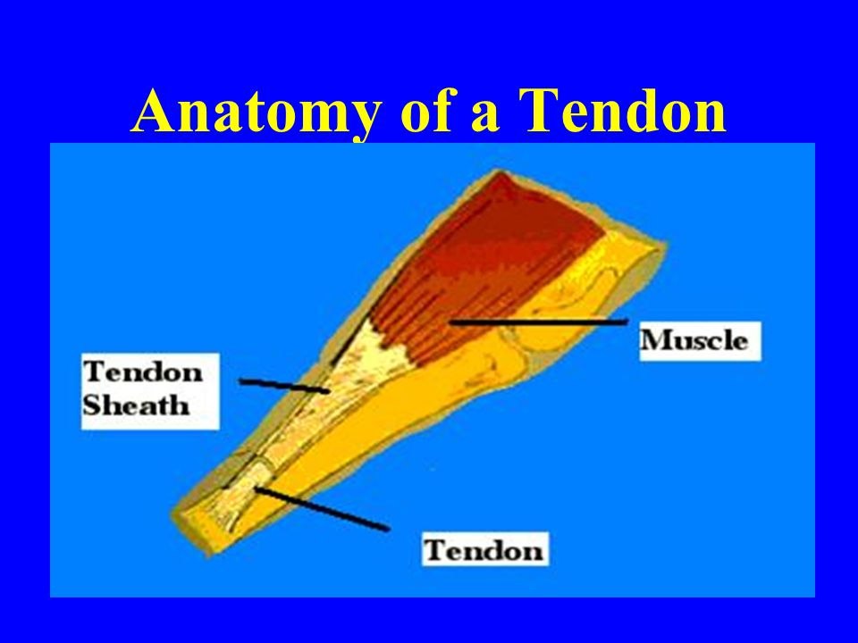 Anatomy of a Tendon