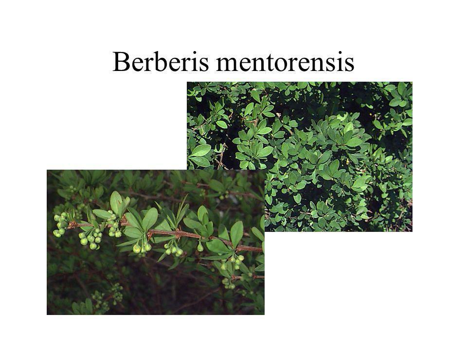 Berberis mentorensis