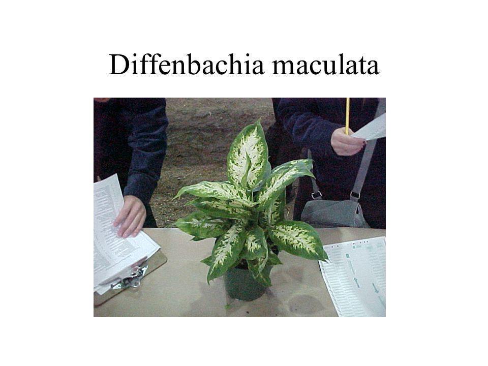 Diffenbachia maculata