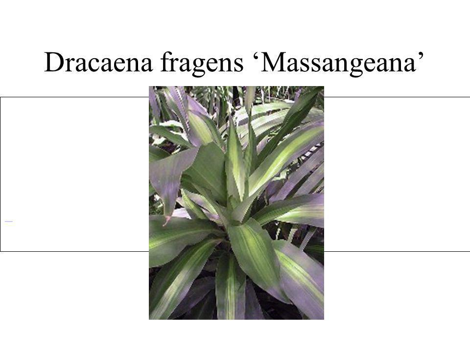 Dracaena fragens 'Massangeana'