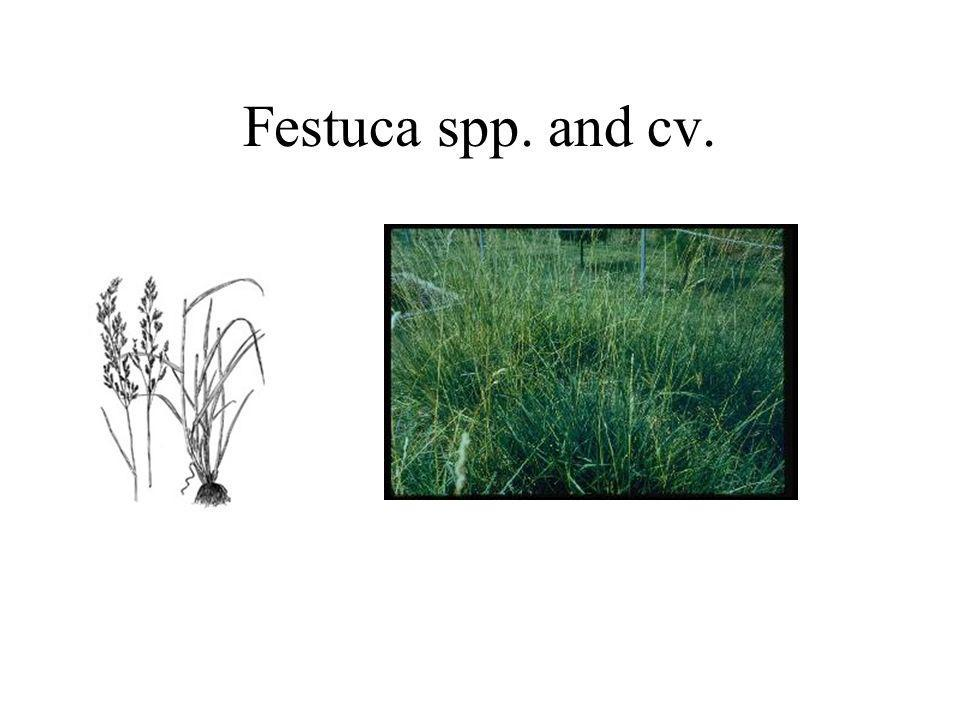 Festuca spp. and cv.