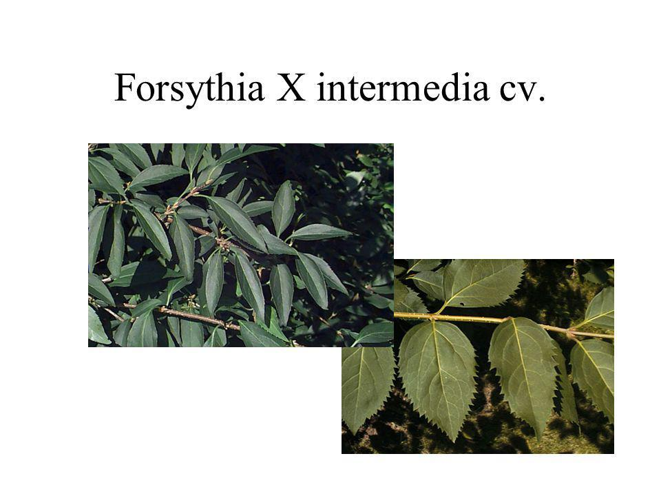 Forsythia X intermedia cv.