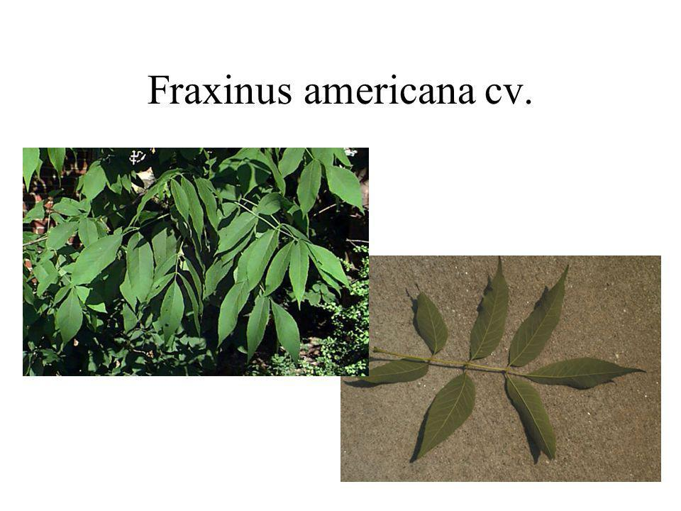 Fraxinus americana cv.
