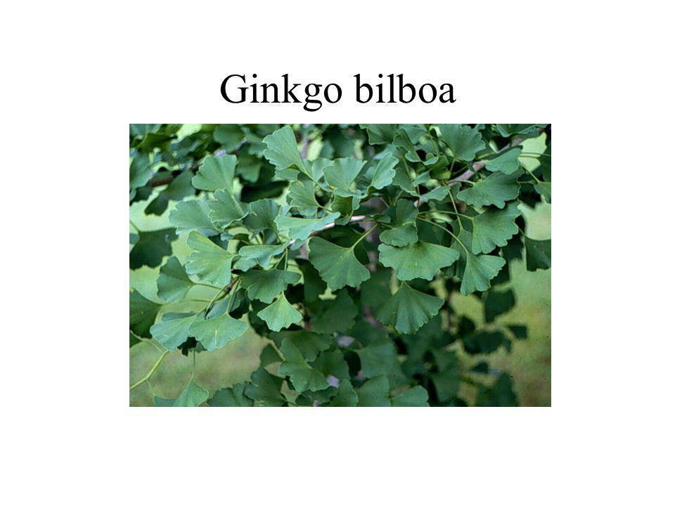 Ginkgo bilboa