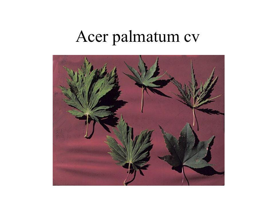 Acer palmatum cv