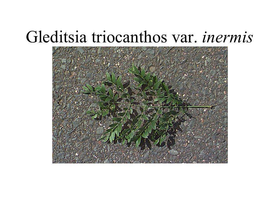 Gleditsia triocanthos var. inermis