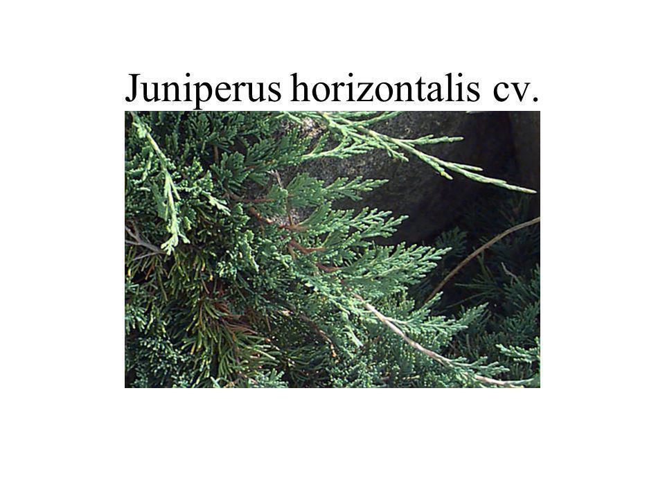 Juniperus horizontalis cv.