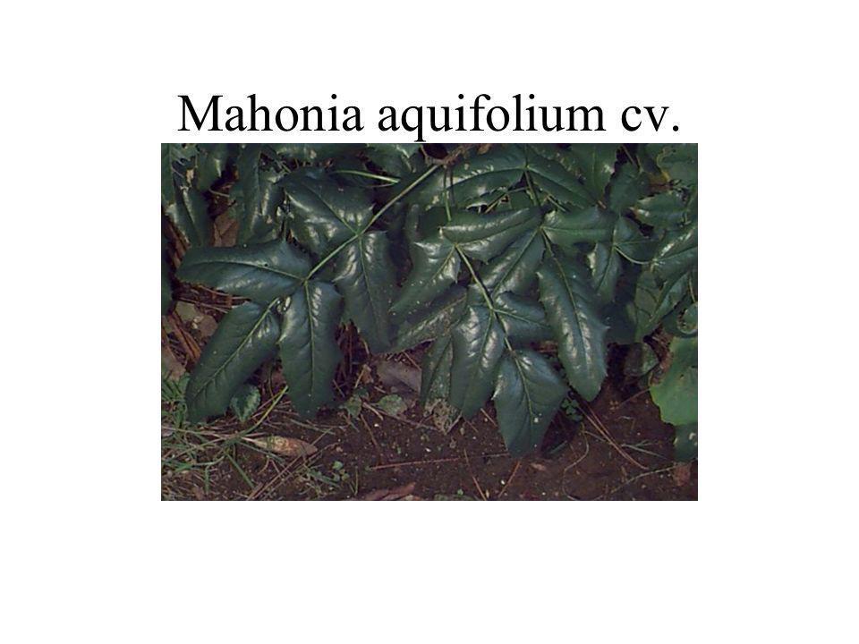 Mahonia aquifolium cv.