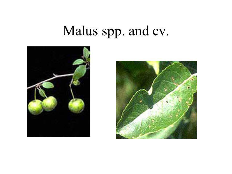 Malus spp. and cv.