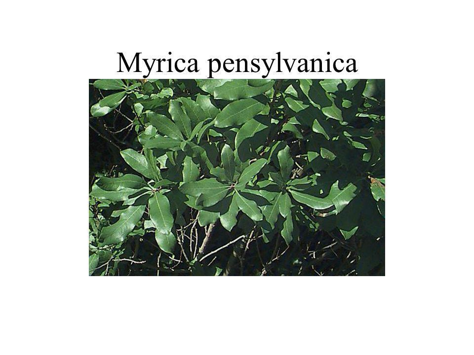 Myrica pensylvanica