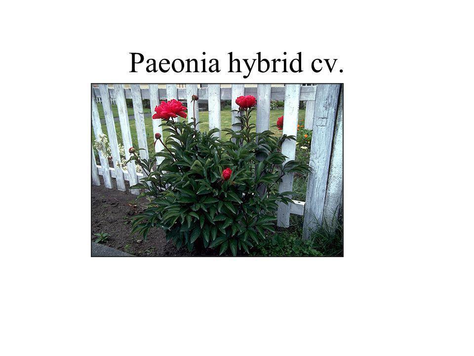 Paeonia hybrid cv.