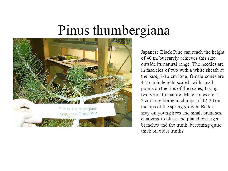 Pinus thumbergiana