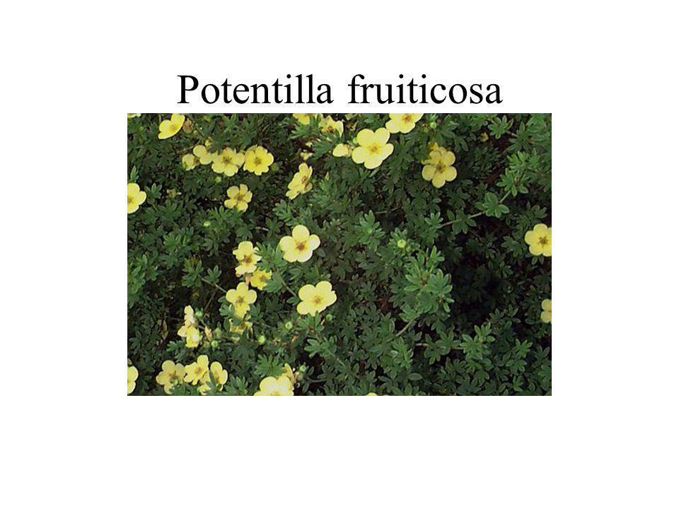 Potentilla fruiticosa