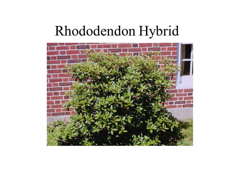 Rhododendon Hybrid