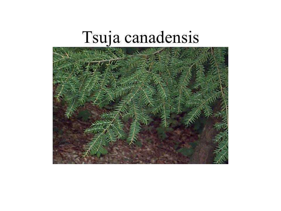 Tsuja canadensis
