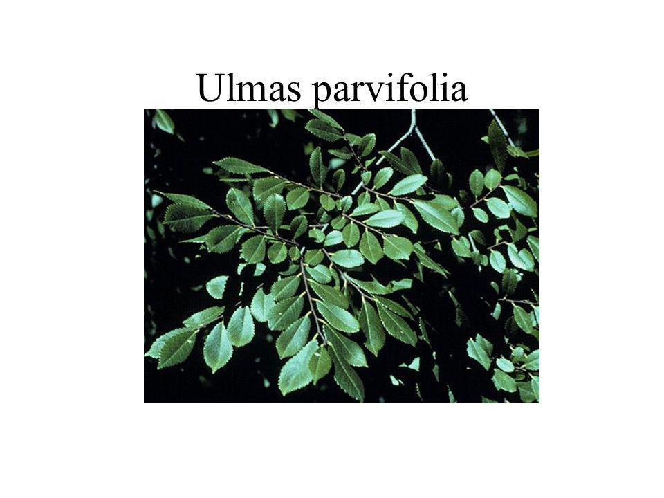 Ulmas parvifolia