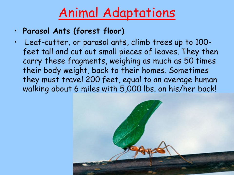 Animal Adaptations Parasol Ants (forest floor)