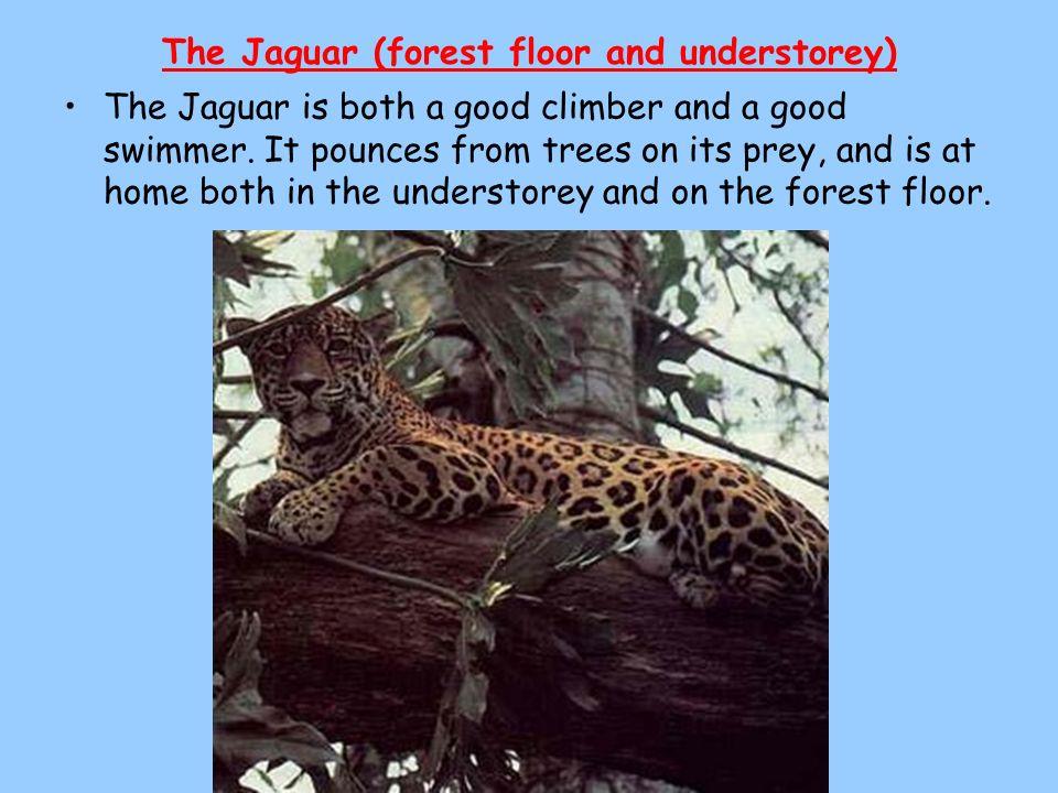 The Jaguar (forest floor and understorey)