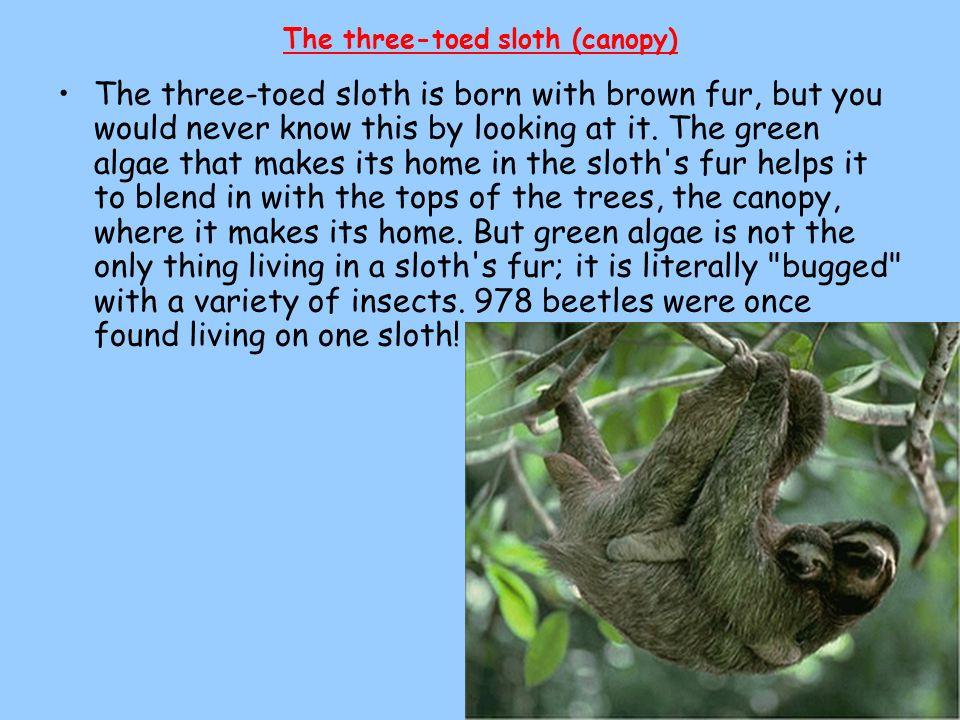 The three-toed sloth (canopy)