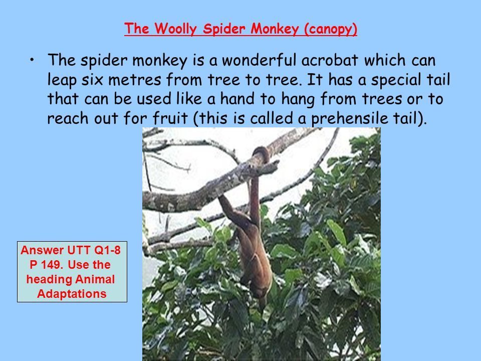 The Woolly Spider Monkey (canopy)