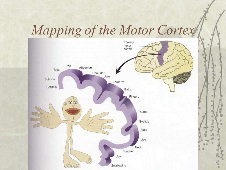 Mapping of the Motor Cortex