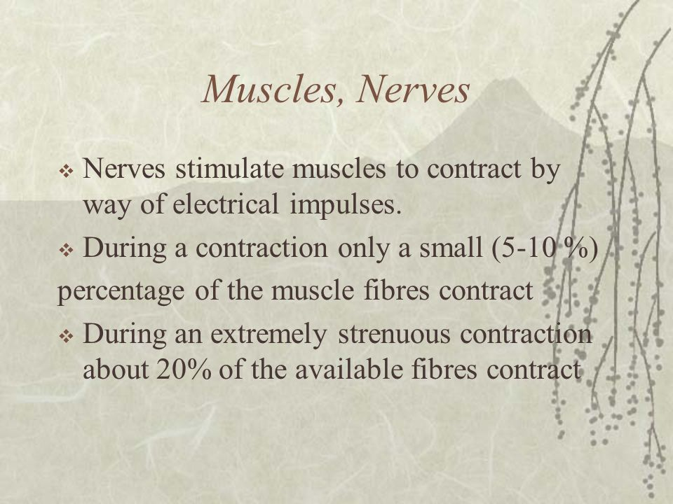 Muscles, Nerves Nerves stimulate muscles to contract by way of electrical impulses. During a contraction only a small (5-10 %)