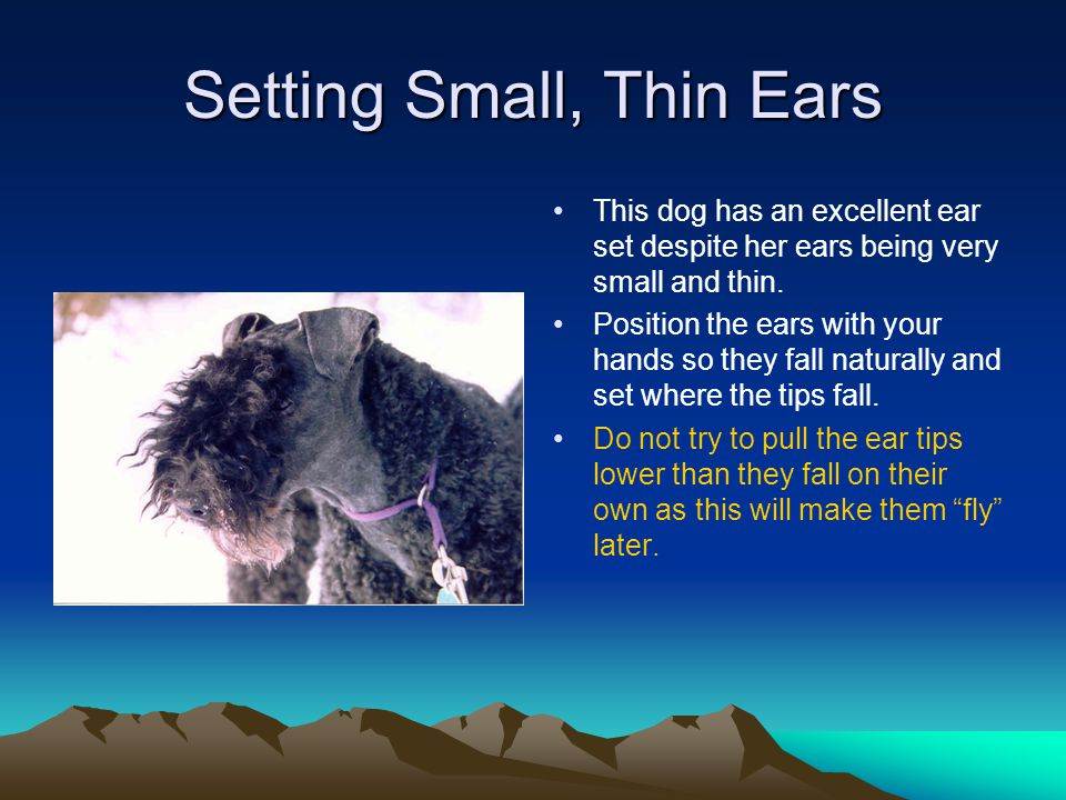 Setting Small, Thin Ears