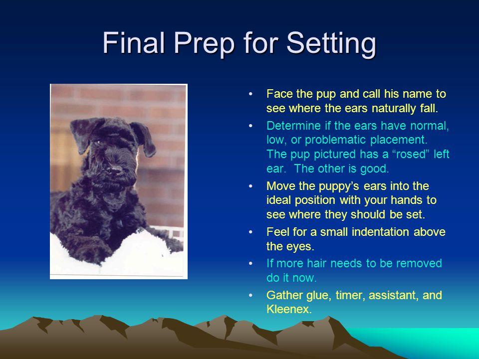 Final Prep for Setting Face the pup and call his name to see where the ears naturally fall.