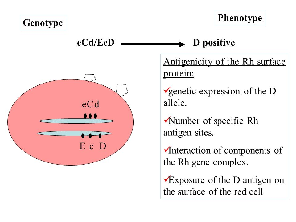 Phenotype Genotype. eCd/EcD. D positive. Antigenicity of the Rh surface protein: genetic expression of the D allele.