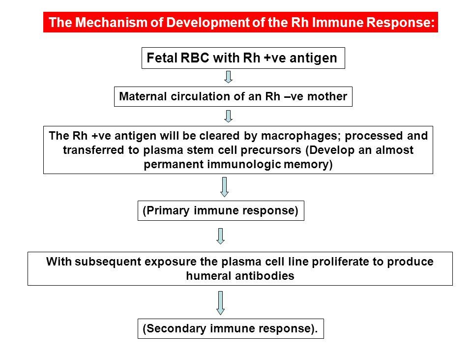 The Mechanism of Development of the Rh Immune Response: