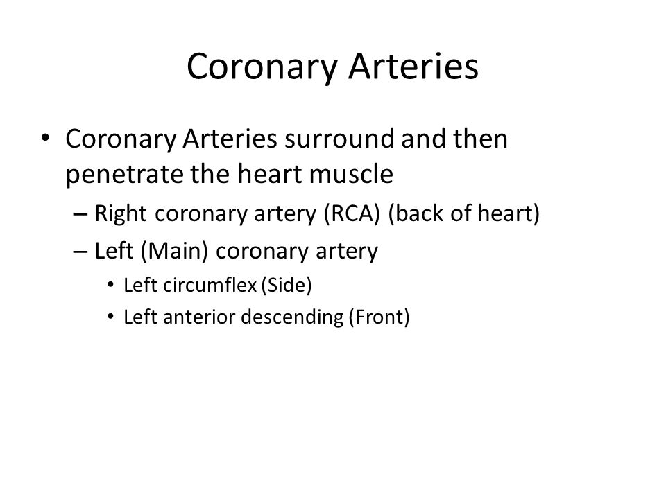 Coronary Arteries Coronary Arteries surround and then penetrate the heart muscle. Right coronary artery (RCA) (back of heart)