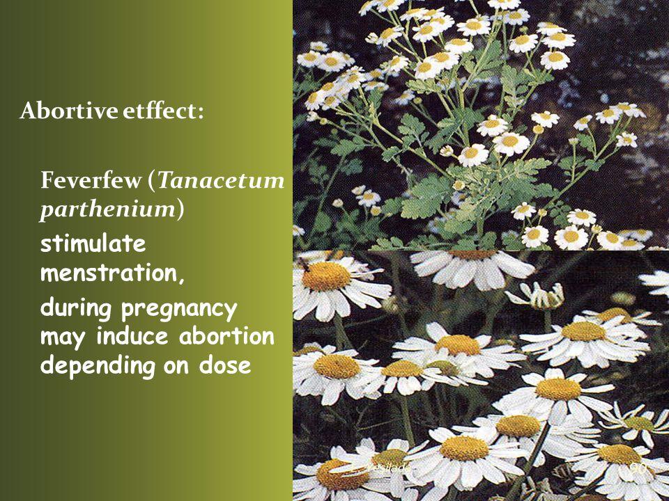 Feverfew (Tanacetum parthenium) stimulate menstration,