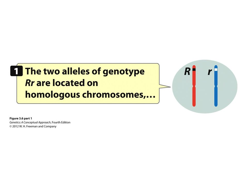 Figure 3.6 Segregation results from the separation of homologous chromosomes in meiosis.