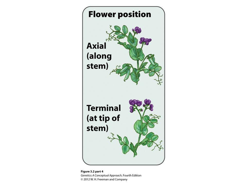 Figure 3.2 Mendel used the pea plant Pisum sativum in his studies of heredity.
