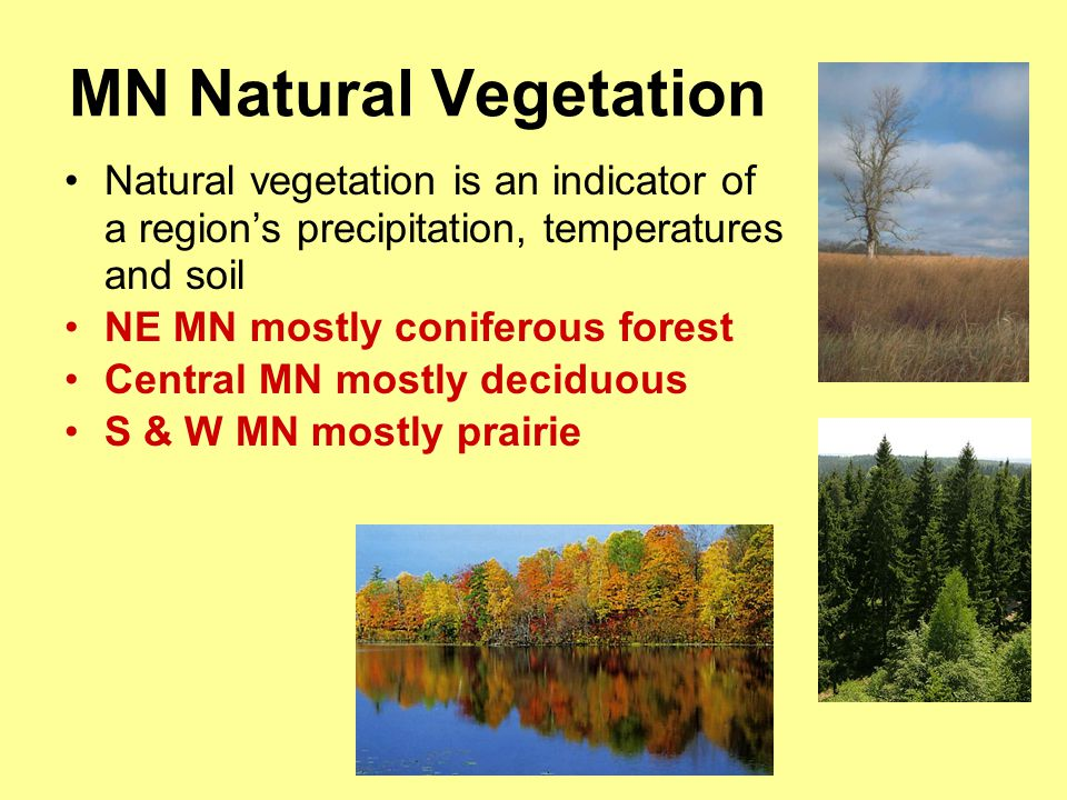 MN Natural Vegetation Natural vegetation is an indicator of a region's precipitation, temperatures and soil.