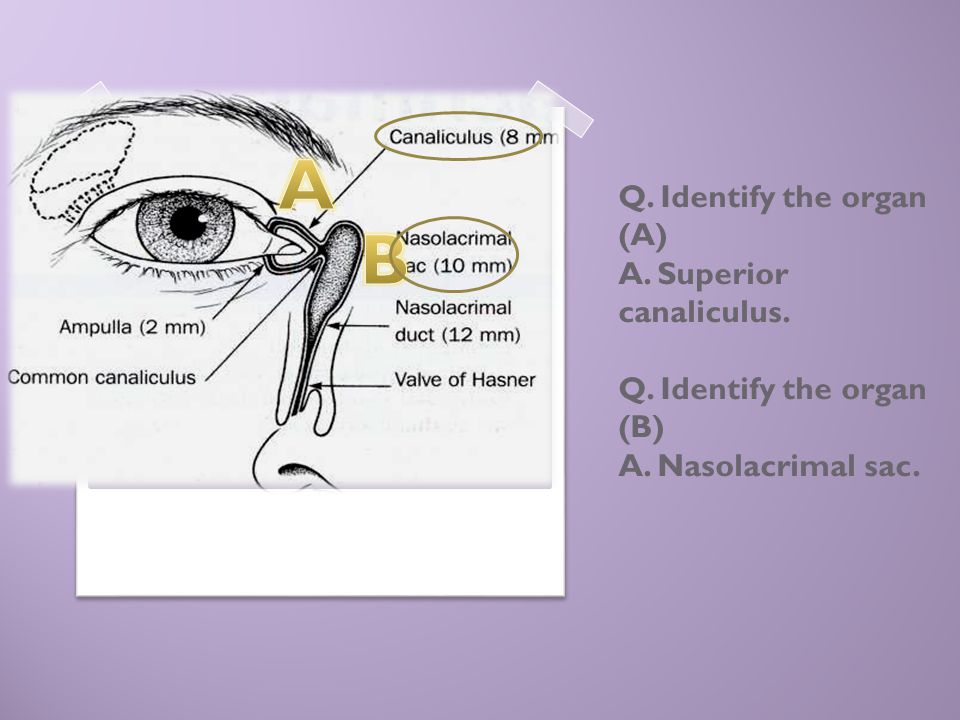 Q. Identify the organ (A) A. Superior canaliculus. Q