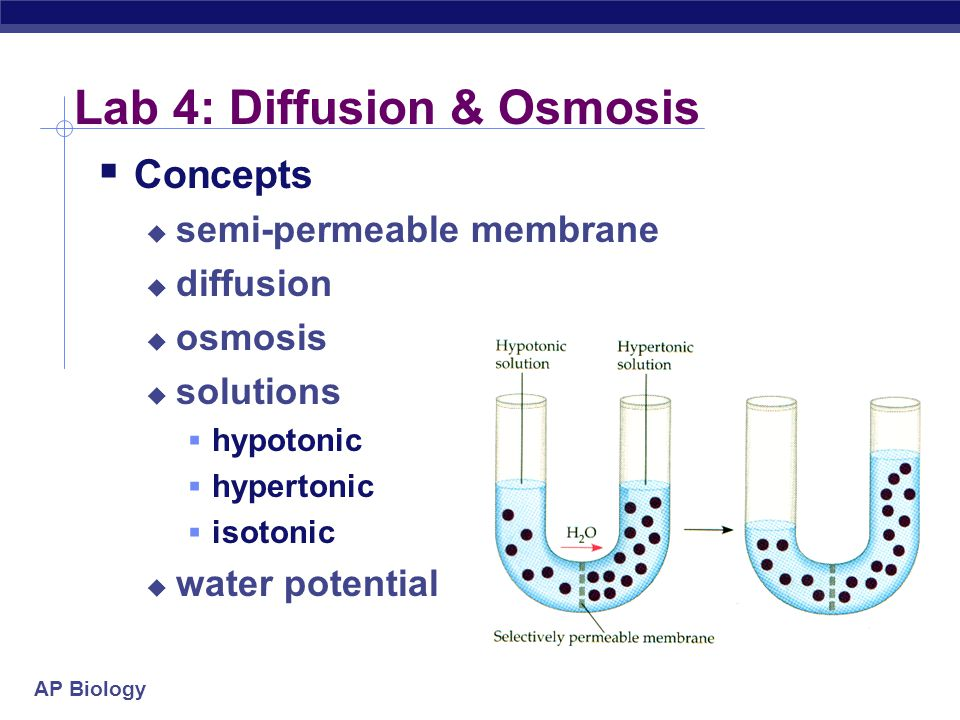 an overview of the experiment osmosis occurrence in a potato Simple science experiment: osmosis with potato slices simple science experiment: osmosis with potato slices  moves out by osmosis thus, the potato gets all .