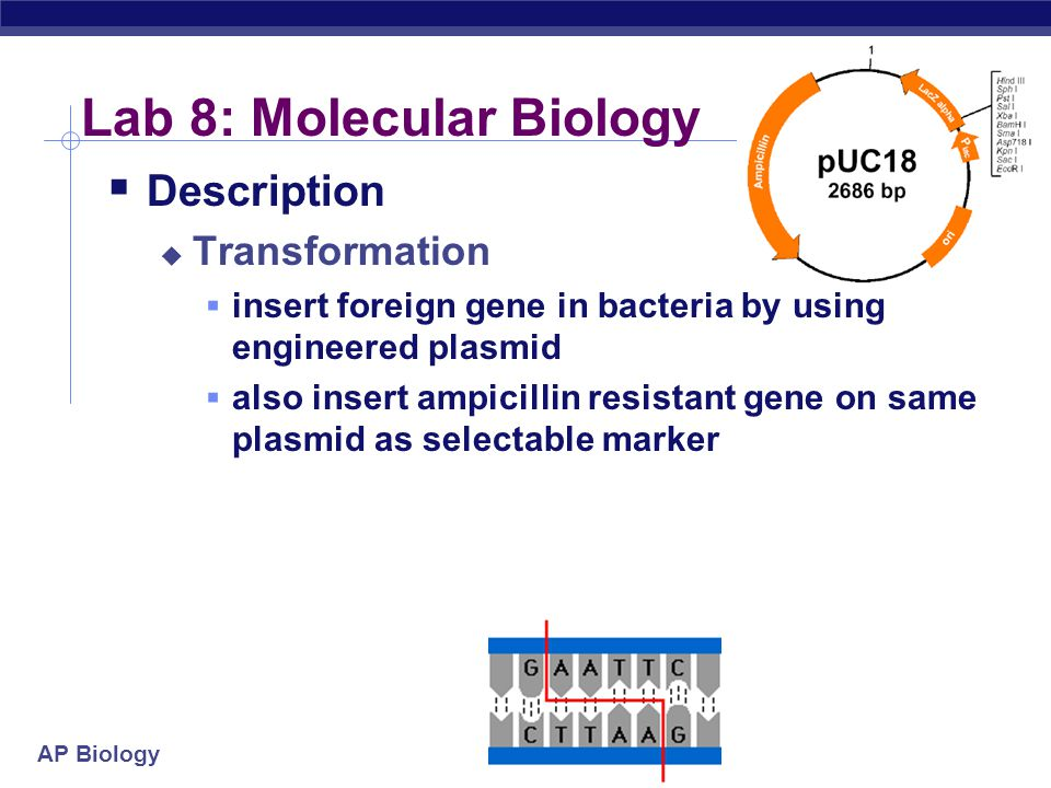 Lab 8: Molecular Biology