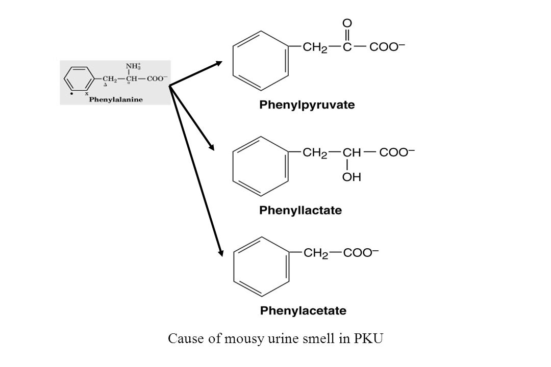 Cause of mousy urine smell in PKU